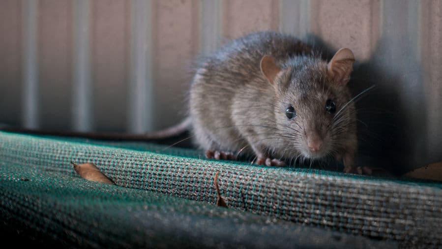 Innovatieve oplossing om rattenoverlast tegen te gaan